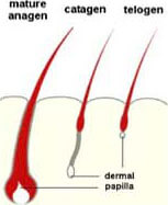 How Hair Grows Diagram